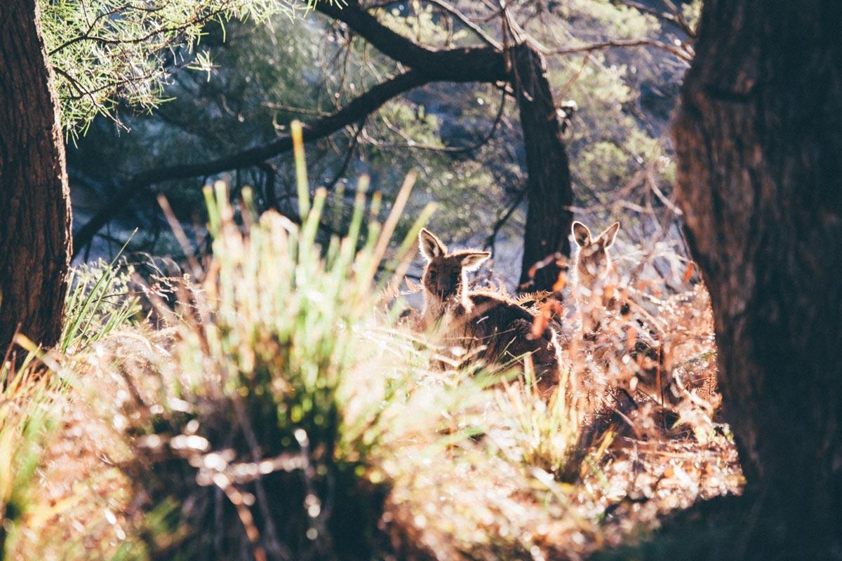 Abundant wildlife - cheeky wallabies near the cottage