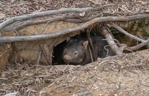 Wombats galore